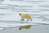 A Polar Bear (Ursus maritimus) walking on the sea ice.